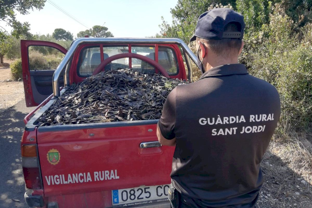Ayuntamiento, guarda rural y cazadores colaboran para evitar los robos de algarrobas tras haberse multiplicado este año.