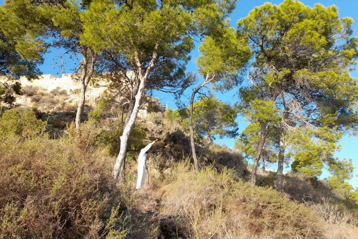 El Ayuntamiento acelera el tratamiento contra la procesionaria en todas las pinadas urbanas y periurbanas de Alicante